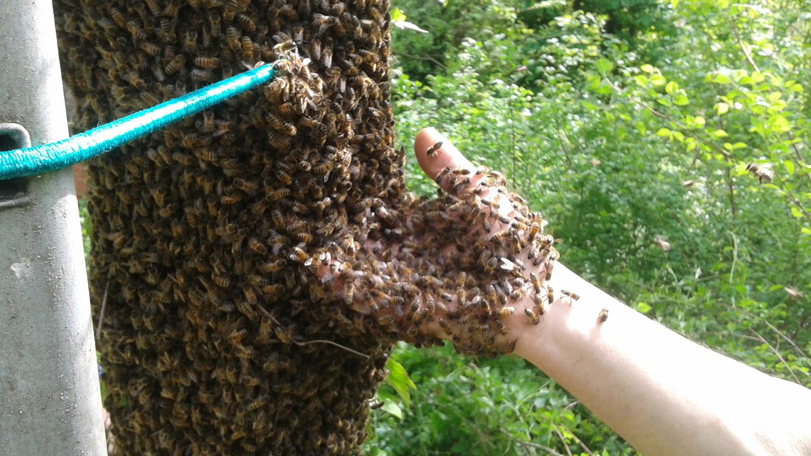 Période d'essaimage des abeilles
